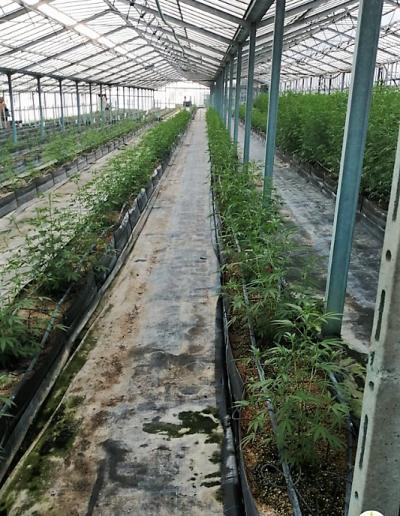 coltivazione-canapa-serre-di-sanremo (2)